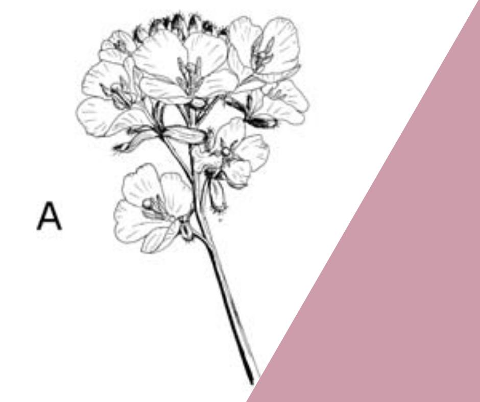Guanthera repanda – la pianta endemica del Monte Baldo